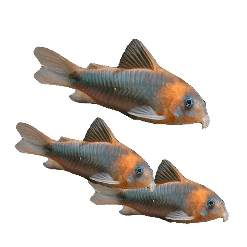 poisson nettoyeur d 39 aquarium corydoras aneus. Black Bedroom Furniture Sets. Home Design Ideas