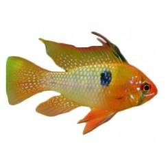 Papiliochromis ramirezy gold