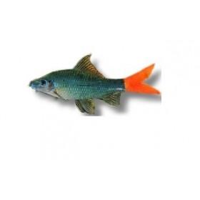 Labeo bicolore