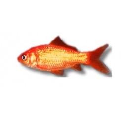 Les poissons d 39 aquarium et bassin d 39 eau froide miniaqua77 for Filtre poisson rouge