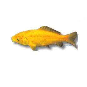 Poisson jaune