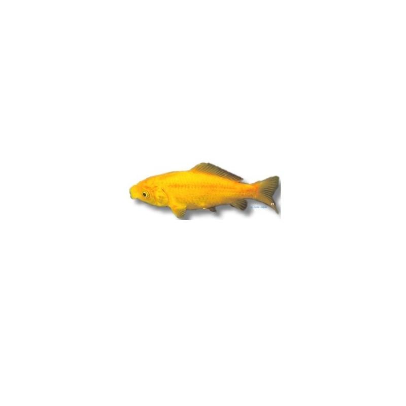 Poisson jaune et sarasa comet for Acheter poisson rouge 77