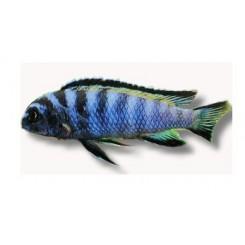 Pseudotropheus elongatus