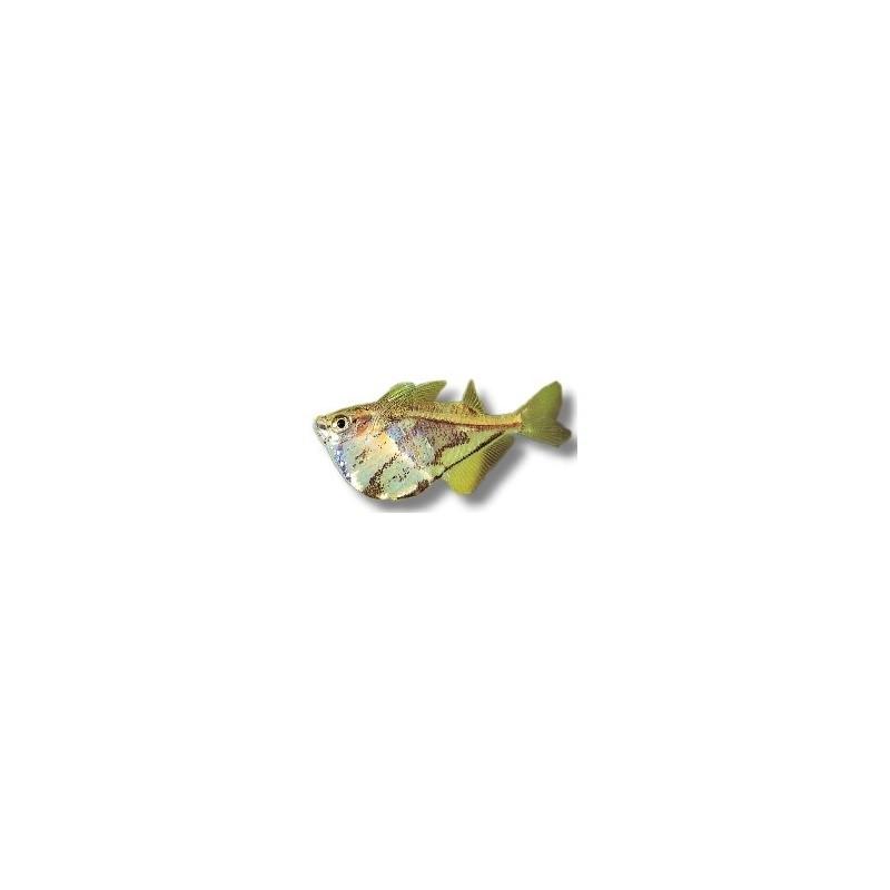 poisson hachette