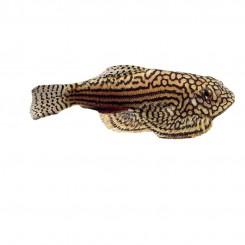 Sewellia breviventrais 6-7 cm
