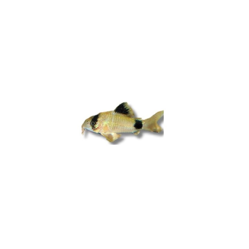 Corydoras panda poissons nettoyeur aquarium for Nettoyeur aquarium poisson