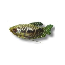 "Trichogaster Cosby ""gourami"""