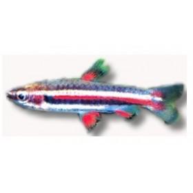 poisson crayon nain