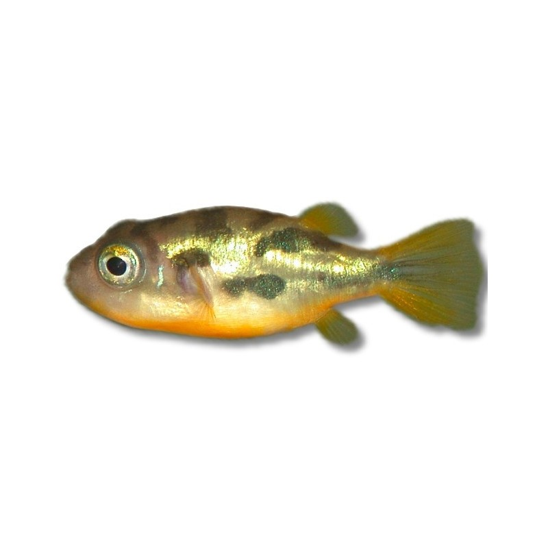 Tetraodon travancoricus