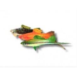 "Xiphophorus helleri ""Xipho""  1 male 2 femelle 0"