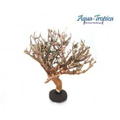 Crevette bonsaï Aquatropica