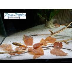 Feuille de Hêtre pour aquarium