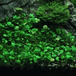 plante gazonnante aquarium