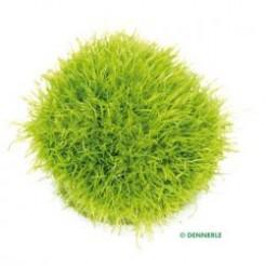 Utricularia graminifolia In-Vitro