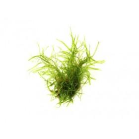 Taxiphyllum alternans Taiwan in-vitro