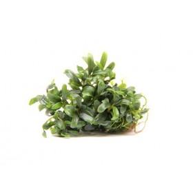 Bucephalandra micrantha Needle leaf In-Vitro