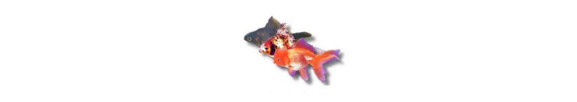 les poissons d'aquarium et bassin d'eau froide