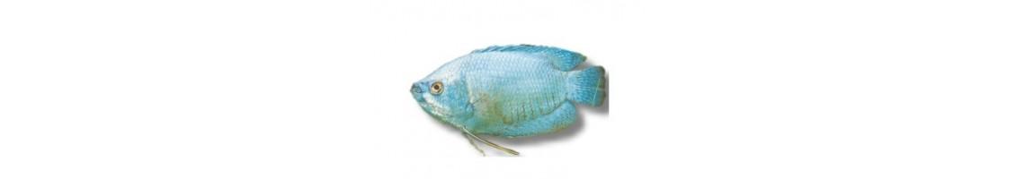 Les poissons tropicaux d'aquarium