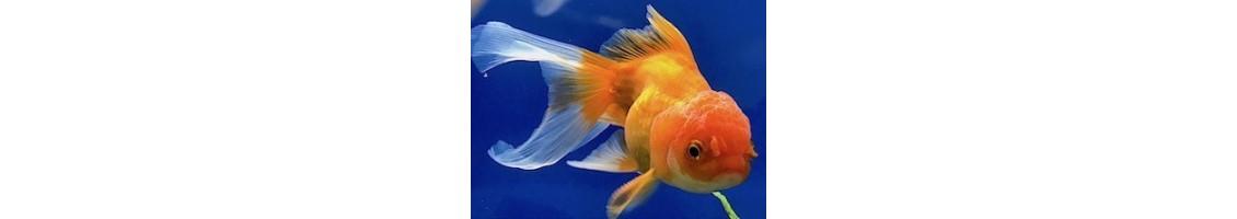 Aliments pour poissons d'eau froide
