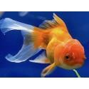 Nourriture poissons d'eau froide