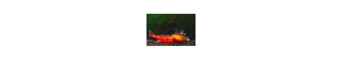 Traitement naturelle pour les crevettes d'aquarium