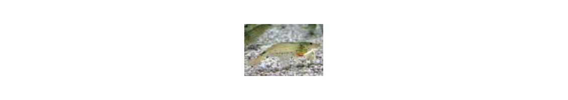 Traitement des maladies bactériennes et fongique chez les crevettes