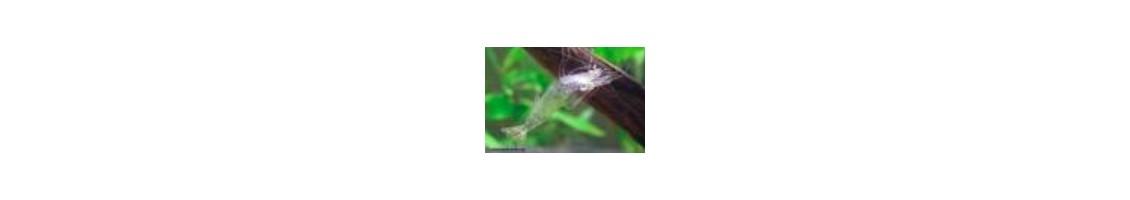 Problèmes de mues et de carapaces chez les crevettes