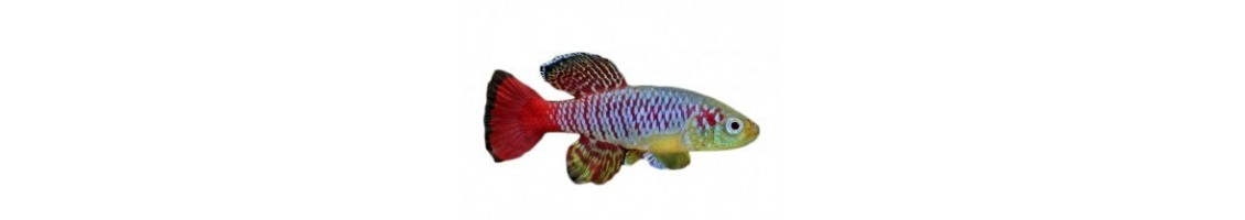 Les poissons et crevettes d'aquarium